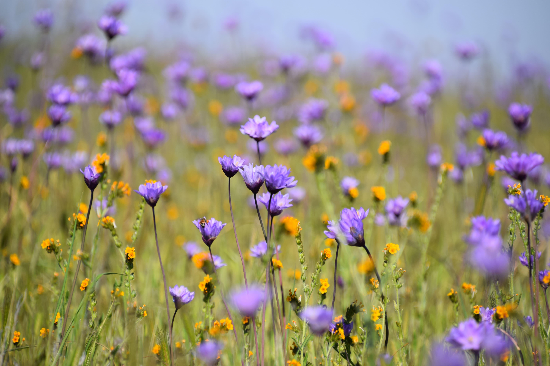 Meadow in Purple